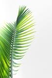 Foglie verdi della palma Fotografie Stock Libere da Diritti