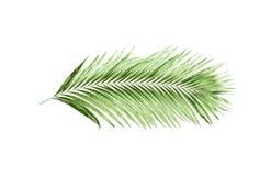 Foglie verdi della palma isolate su fondo bianco Fotografie Stock Libere da Diritti