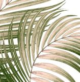 Foglie verdi della palma su bianco Immagine Stock