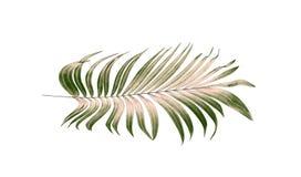 Foglie verdi della palma su fondo bianco Fotografia Stock Libera da Diritti