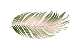 Foglie verdi della palma su fondo bianco Immagini Stock Libere da Diritti