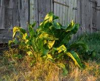 Foglie verdi della pianta del rafano Immagine Stock Libera da Diritti