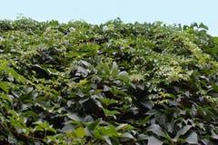 Foglie verdi della pianta dell'edera Immagine Stock
