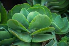 Foglie verdi della pianta della pagaia del cactus del Flapjack Fotografia Stock Libera da Diritti
