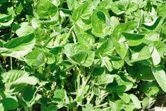 Foglie verdi della pianta della soia Fotografie Stock