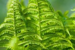 Foglie verdi della plantula della felce Fotografia Stock Libera da Diritti