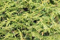 Foglie verdi della sfuocatura con bokeh, fondo astratto Fotografie Stock Libere da Diritti