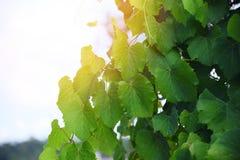Foglie verdi della vite sulla pianta tropicale del ramo di estate del cielo della natura della vigna fotografia stock libera da diritti