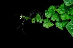 Foglie verdi della zucca con il gambo ed i viticci pelosi della vite sopra Immagine Stock