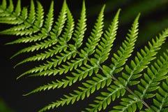 Foglie verdi delle felci Fotografia Stock Libera da Diritti
