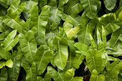 Foglie verdi di alocasia Fotografia Stock
