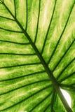 Foglie verdi di Alocasia Macrorrhizos in giardino botanico Fotografie Stock