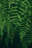 Foglie verdi di attaccatura della pianta tropicale Fotografia Stock Libera da Diritti