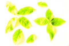 Foglie verdi di bella struttura e gialle astratte dell'albero isolate sul modello e sulla carta da parati bianchi del fondo immagini stock libere da diritti