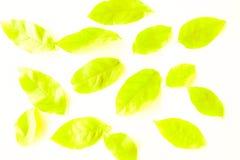 Foglie verdi di bella struttura e gialle astratte dell'albero isolate sul modello e sulla carta da parati bianchi del fondo fotografie stock libere da diritti