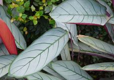Foglie verdi di Billbergia - fondo astratto del pistacchio dell'ambiente naturale Immagini Stock Libere da Diritti