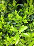Foglie verdi di Bush Immagine Stock