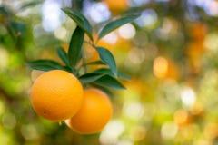 Foglie verdi di frutti dell'arancio del ramo Comcept di agricoltura Fotografie Stock Libere da Diritti