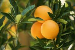 Foglie verdi di frutti dell'arancio del ramo Comcept di agricoltura Fotografie Stock