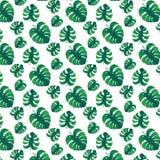 Foglie verdi di monstera Fotografia Stock