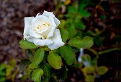 Foglie verdi di Rosa bianca Immagini Stock