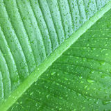 Foglie verdi di struttura del fondo della foglia della banana Fotografia Stock Libera da Diritti