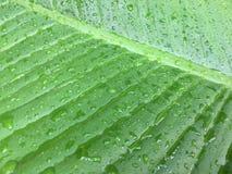 Foglie verdi di struttura del fondo della foglia della banana Immagine Stock
