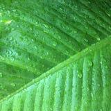 Foglie verdi di struttura del fondo della foglia della banana Immagine Stock Libera da Diritti