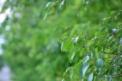 Foglie verdi di un albero nell'ora legale immagine stock libera da diritti