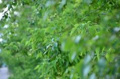 Foglie verdi di un albero nell'ora legale fotografie stock