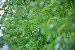 Foglie verdi di un albero nell'ora legale fotografia stock