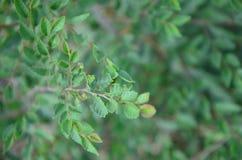 Foglie verdi di un cespuglio nell'ora legale fotografie stock