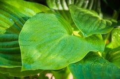 Foglie verdi di un fiore nella giungla Fotografia Stock
