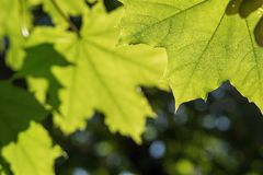 Foglie verdi di un primo piano dell'acero Immagini Stock Libere da Diritti
