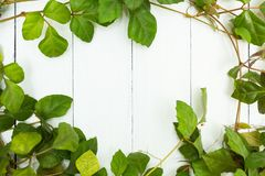 Foglie verdi di un rampicante su un fondo di legno bianco, spazio per testo fotografia stock libera da diritti