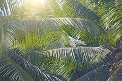 Foglie verdi di una palma e del sole Backgro tropicale esotico immagine stock