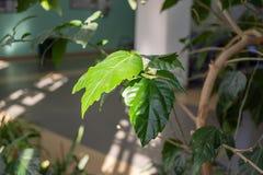 Foglie verdi di una pianta da appartamento fotografia stock