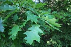 Foglie verdi di una quercia Fotografia Stock