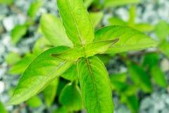 Foglie verdi e fondo di pietra naturale nella foresta pluviale di T fotografia stock