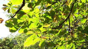 Foglie verdi e gialle dell'ippocastano che ondeggiano in vento video d archivio