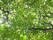 Foglie verdi e gialle - fine dell'estate, caduta in anticipo Fotografia Stock