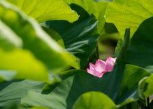 Foglie verdi e un fiore di loto Fotografie Stock Libere da Diritti