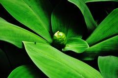 Foglie verdi e un primo piano dello zenzero del germoglio Fotografia Stock
