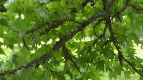 Foglie verdi fertili nel vento archivi video