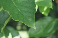Foglie verdi in foresta Immagini Stock