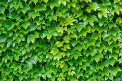 Foglie verdi fresche come fondo fotografia stock libera da diritti