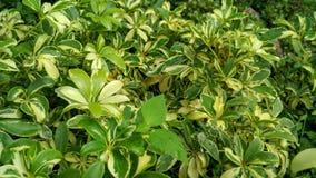 """Foglie verdi fresche con goccia di pioggia, hanno chiamato le piante """"di Walisongo """" fotografie stock libere da diritti"""