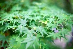 Foglie verdi fresche del cespuglio della marijuana dell'erba nella macro del bokeh vaga strutture del fondo del campo o del giard fotografie stock