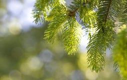 Foglie verdi fresche del pino Immagine Stock