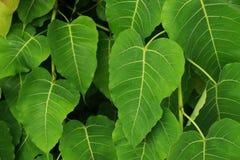 Foglie verdi fresche dell'albero di Bodhi, concetto del fondo della natura Immagine Stock Libera da Diritti